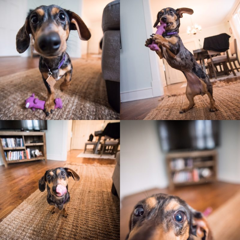 Portraits of a dapple dachshund wiener dog