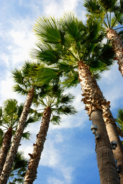 Palm trees on Coronado Island