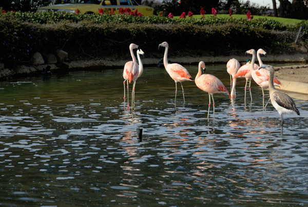 Flamingos standing in water on Coronado Island